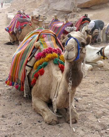 Un dromadaire dans le Sinaï, copyright Senioractu.com