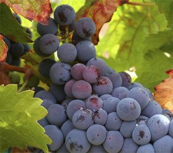 Le vin pour ralentir les effets du vieillissement : de nouvelles preuves…