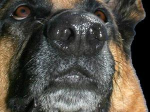 Cancer de la prostate : le flair du chien pour détecter les cancers les plus agressifs