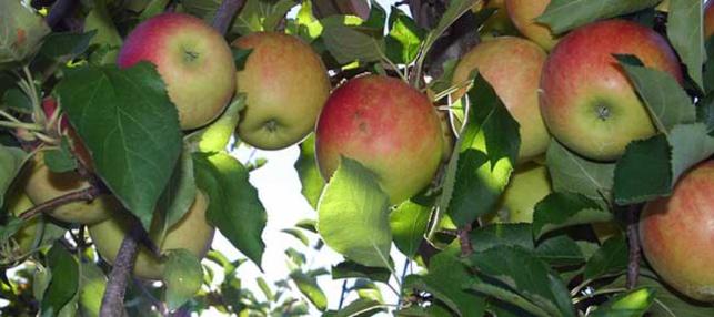 Pomme et diabète de type 2 : un fruit idéal pour l'équilibre glycémique