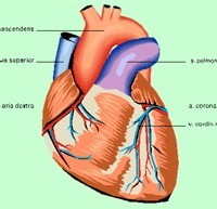 Maladies cardiovasculaires : une femme sur trois en meurt chaque année