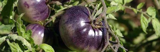 États-Unis – Une nouvelle tomate hybride contenant des antioxydants