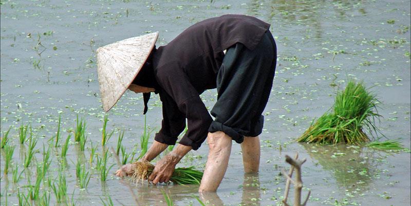 Repiquage du riz dans le delta du fleuve rouge © CC dalbera sur Flickr