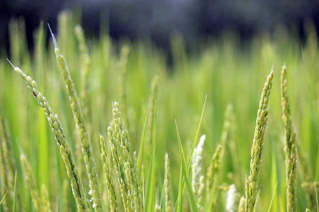SonRiz Claire : un nouveau complément alimentaire à base d'huile de son de riz